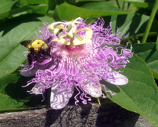 Bee On Maypop Vine