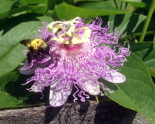 Bee On Maypop Vine