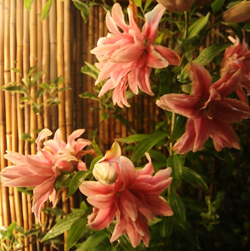 Double pink lilies in full bloom against a bamboo fence, A Garden for the Buddha, Seattle, Washington, USA by Wonderlane