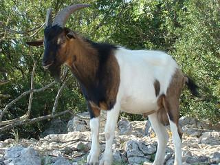 120 verwilderde geiten