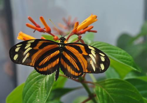 Butterflies Live (4)