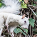 Small photo of Albino Squirrel