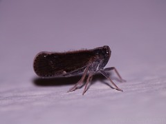 Leafhopper - family Cicadellidae