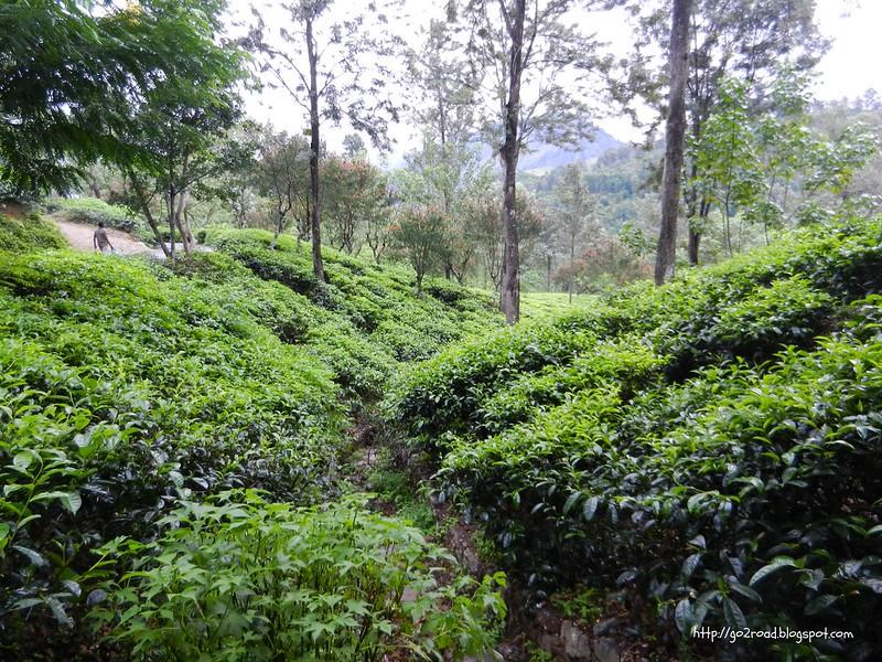 Чайные плантации на Шри Ланке, Элла