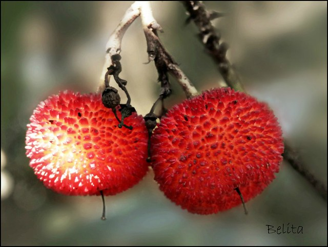strawberry tree fruit-