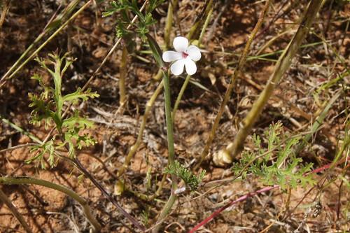 Pelargonium senecioides, plant