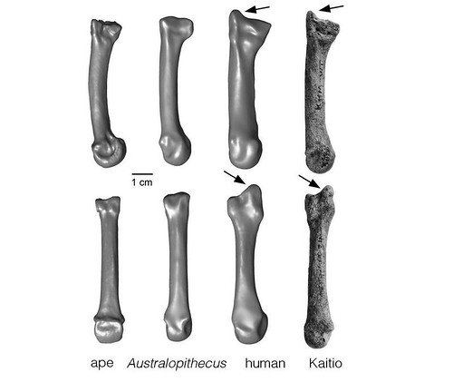 The styloid process is a projection of bone. Ward and her team found a styloid process at the end of a hand/wrist bone more than 1.42 million years old, indicating this anatomical feature existed more than half a million years earlier than previously known. By explanation, above, Australopithecus is an early hominin that is generally thought to be ancestral to, and predates, the Homo genus, which contains the earliest species of the human line. Credit: University of Missouri
