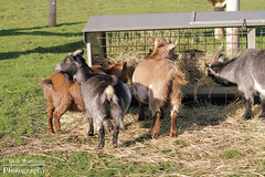 animal, farm, mammal, goats, herd, grazing, domestic goat, fauna, herding, pasture, wildlife,