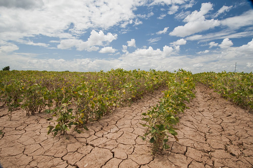 Soybeans show the effect of the Texas drought near Navasota, TX on Aug. 21, 2013. USDA photo by Bob Nichols.