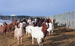 cattle-like mammal, animal, farm, mammal, goats, herd, domestic goat, herding,