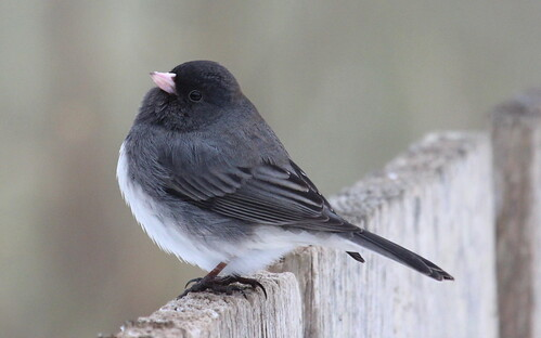 Junco by ricmcarthur