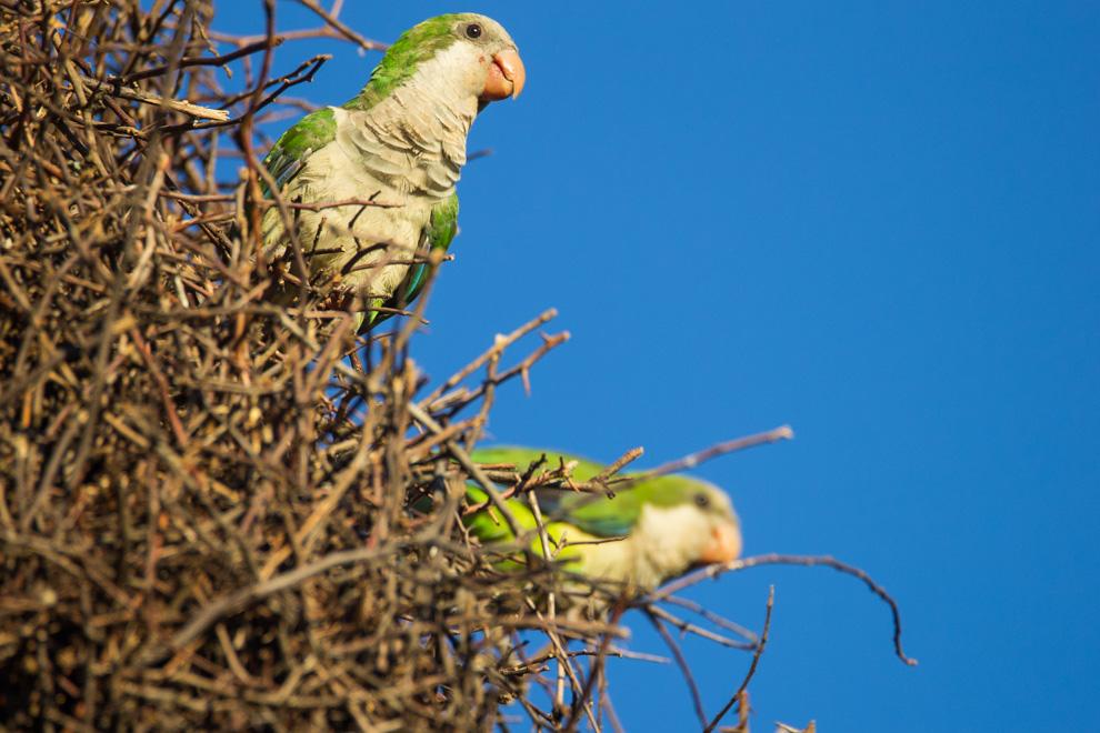 Cotorrita común (Myopsitta monachus) comunes para quienes vivimos en Paraguay, motivo por el cual no prestamos atención a la increíble obra de arquitectura que realizan estas aves. A diferencia de otras especies de loros, estas construyen nidos y lo hacen en forma conjunta formando una gran estructura de ramitas, donde cada pareja tiene su propio nido. (Tetsu Espósito)