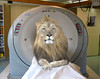 A Lion Getting a CAT Scan by Bill A