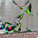 Red-winged Parrots