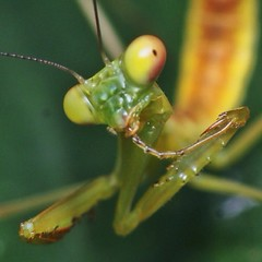 arthropod, animal, yellow, invertebrate, macro photography, mantis, green, fauna, close-up,