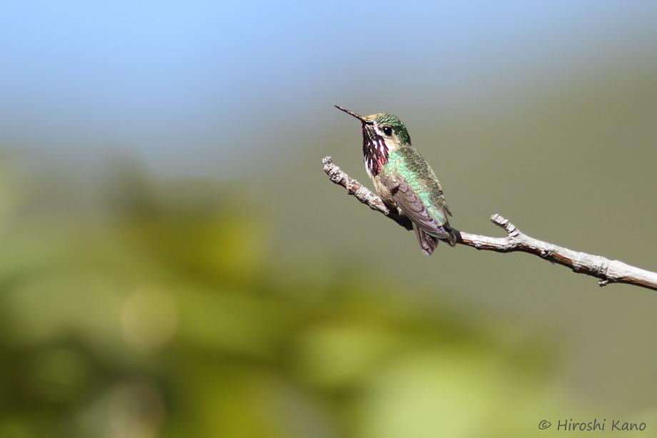 Calliope-Hummingbird-040814-2