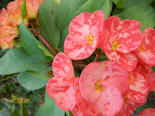 Flowers on the Crown of Thorns Plant