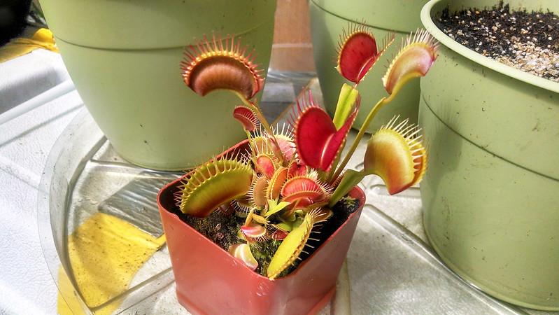 Dionaea muscipula, Venus flytrap, 4-3-2014