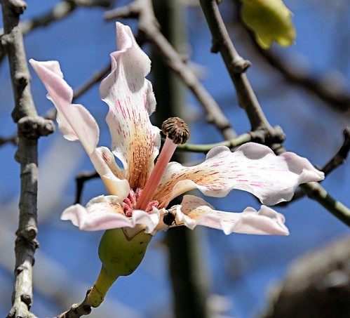 texas silkflosstree brownsville gladysporterzoo ceibaspeciosa nikond7000 nikkor18to200mmvrlens thornsontrunk