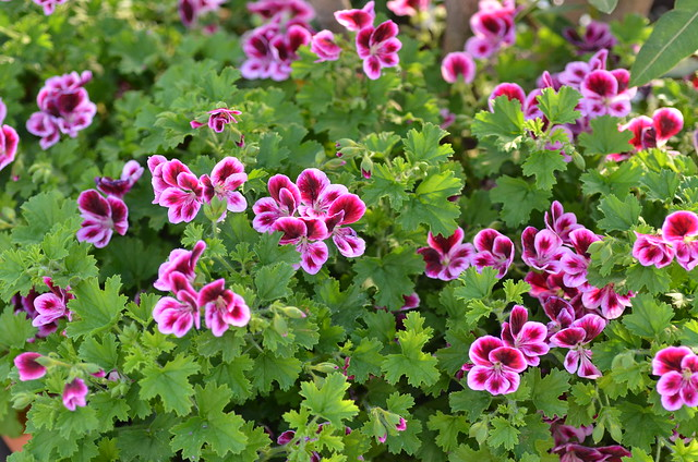 Pelargonium x crispum 'angel eyes® ...