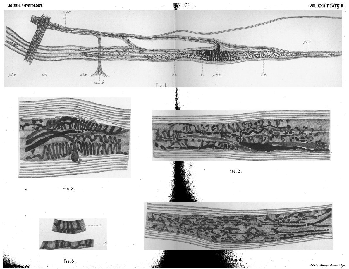 Fig. 3. Plate II, from A. Ruffini, 'On the Minute Anatomy of the Neuromuscular Spindles of the Cat, and on their Physiological Significance', Journal of Physiology 23 (3) (1898), pp. 190-208.