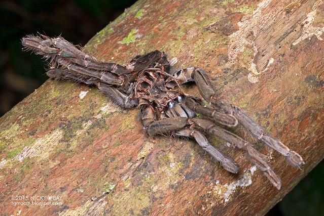 Tarantula exoskeleton (Theraphosidae) - DSC_4919