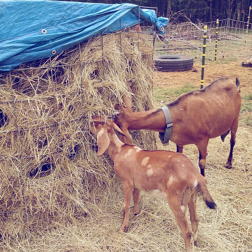 A large adult goat doe with an auburn coat and a young goat who looks just like her but with pale blonde spots eat from a round bale. The bale has been wrapped in a heavy wire fence panel and the top covered with a blue tarp.
