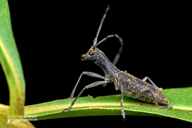 Long-necked longhorn beetle (Gnoma sp.) - ESC_0259