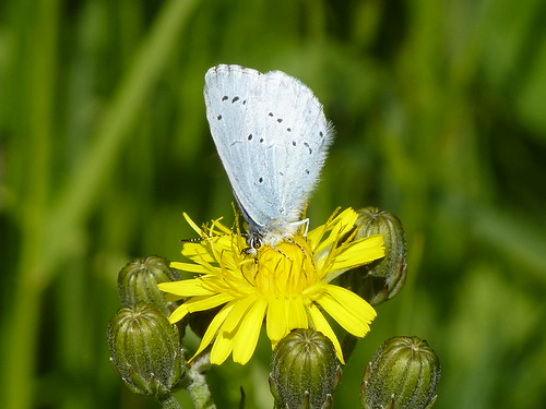 Holly Blue butterfly by Linda Yarrow
