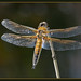 Four-spotted Chaser by Full Moon Images