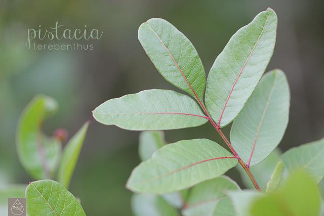 pistacia terebenthus