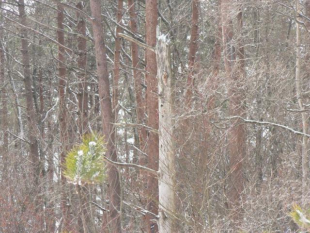 アカマツの枯れ木にアカゲラの巣穴を発見.