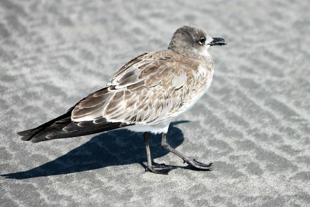 Female seagull - photo#49