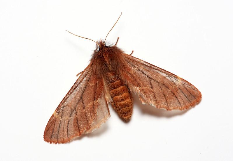 Ptilophora plumigera