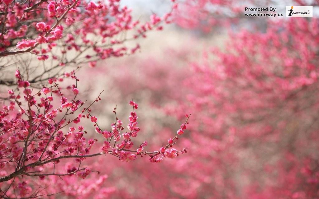 Hd Wallpapers Spring Wallpaper Pink Flower Beautiful Flickr