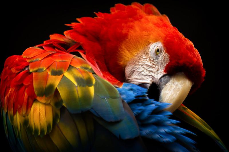Araracanga (Ara macao)  -  Scarlet Macaw