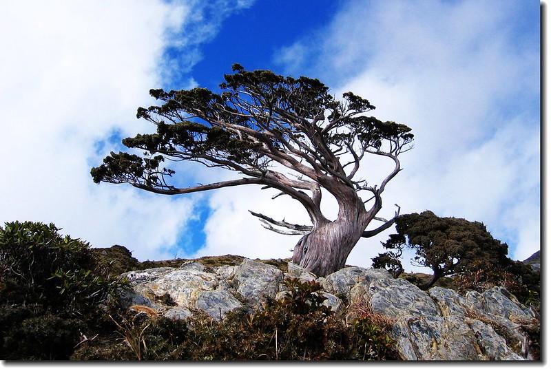 向陽名樹(玉山圓柏) 4