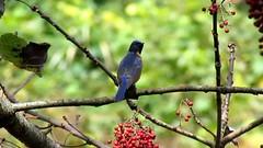 台灣鳥類之美不容錯過,圖為新中橫的黃腹琉璃公鳥。(攝影:蘇美如)
