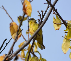 Lesser Goldfinch in Alameda Point neighborhood wooded area