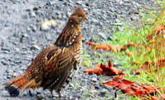animal, fauna, ruffed grouse, phasianidae, bird, galliformes, wildlife,