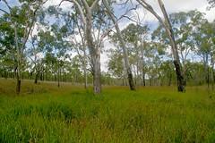 Imperata cylindrica, Eucalyptus tereticornis, E. dallachiana and Juncus usitatus, Taravale, WNW of Townsville, QLD, 01/01/07