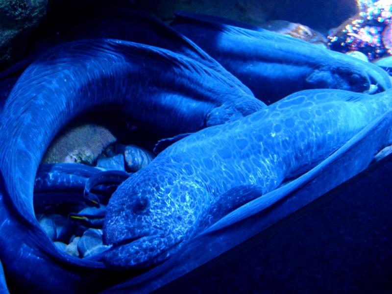 Ripley's Aquarium eels