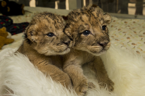 Precious Pair: Lion Siblings Thrive at San Diego Zoo Safari Park by San Diego Zoo Global