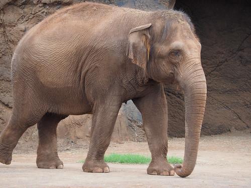 Honolulu Zoo - アフリカゾウ