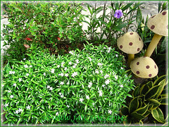 Tibouchina, Ruellia simplex, Sansevieria trifasciata 'Hahnii', Dwarf Tabernaemontana divarcata - 10 Dec 2013