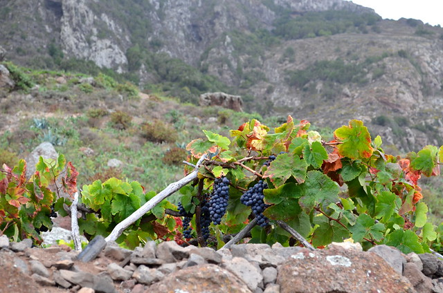 Vines growing in the Anaga Mountains, Tenerife