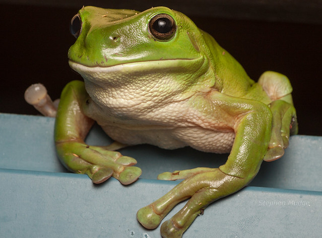 Green Tree Frog #4