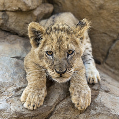 Lion cub about to pounce