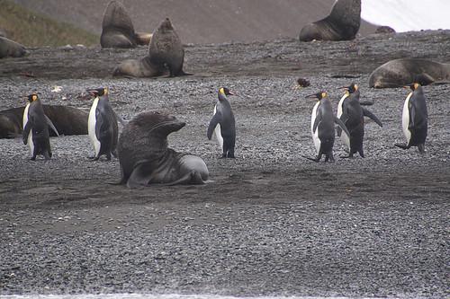 229 Zeeberen en koningspinguins