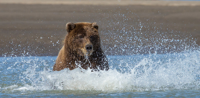 """Bearly"" a Splash!  8012"